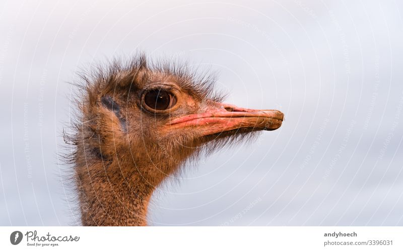 ostrich head close up africa african animal Background beak big bill bird brown camelus closeup eye face farm fauna fear glimpse hair hairy harsh isolated large