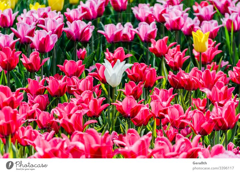 large blooming flower bed with pink hybrid tulips Dutch Holland Netherlandish Netherlands alone blossom blossoming bulbous crossbred florescence flowerbed