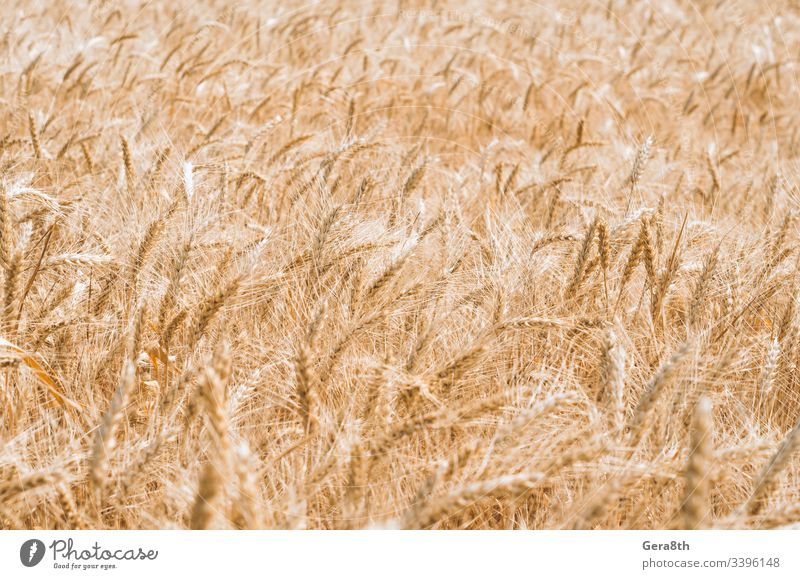wheat spikelets pattern on the field agrarian agricultural agriculture agronomy background climate color crop cultivate day farm farming field pattern gluten