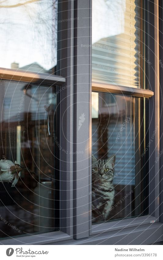 view from the window British Shorthair british shorthair cat Animal Pet Cat Colour photo Animal portrait Domestic cat Looking Reflection Window view outside
