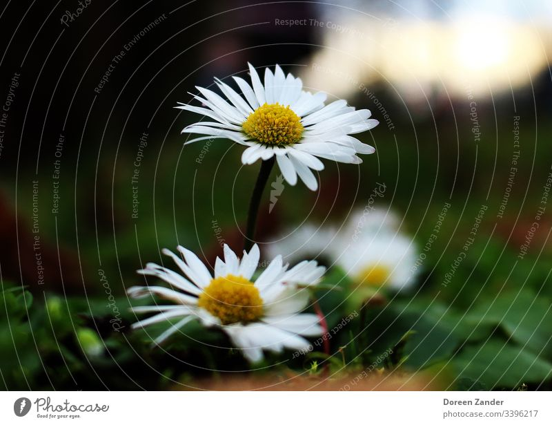 Daisies in a meadow Daisy Flower Meadow Spring Nature White Grass Close-up Lawn Exterior shot Garden Colour photo Blossom Plant Flower meadow