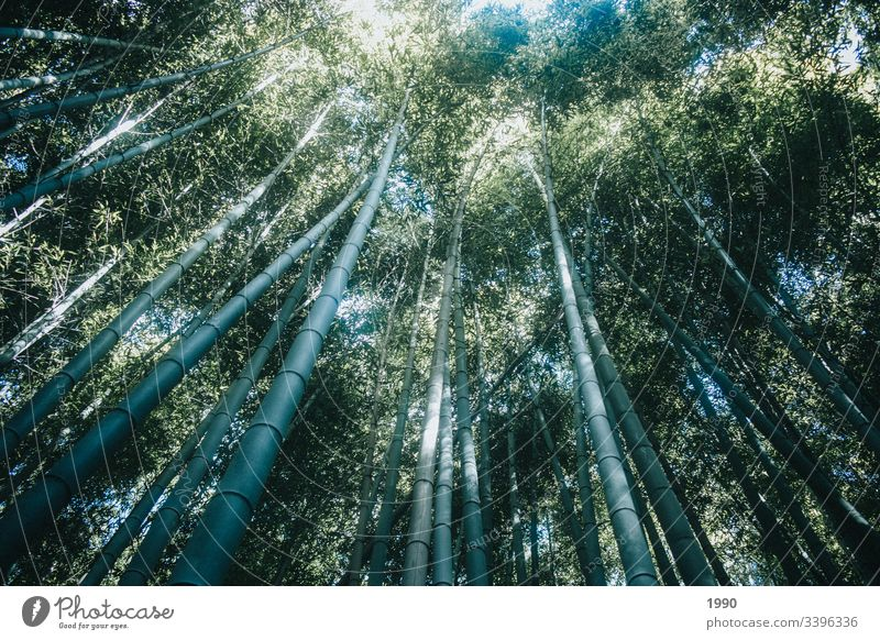 Bamboo Forrest tops in Kyoto bamboo forest Bamboo stick Plant Growth Nature Asia Shadow Japan Green Garden