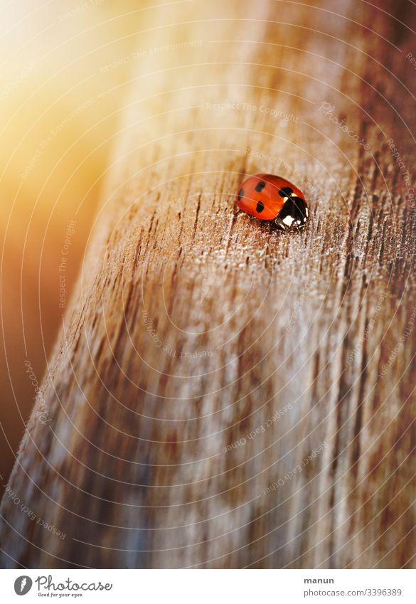 Ladybirds, crawling on the wooden path, shining in a pale light, which gives the impression of cosy warmth of the sun and makes you think of happiness