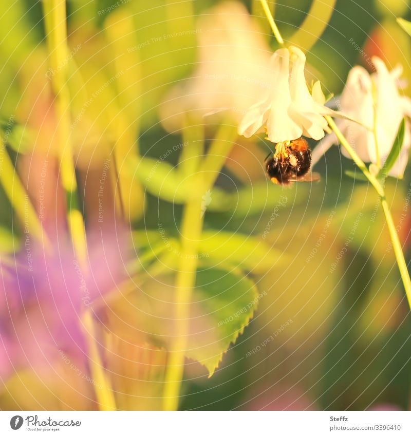 A bumblebee hangs upside down from a summer flower Bumble bee Flower Blossom blossom Summery Garden warm colors summer garden sunny day idyllically Plant Blur