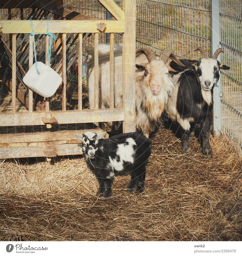 Proud parents Goats Father Mother Child inquisitorial Gate Fenced in Family & Relations Enclosure Petting zoo animals animal portrait Considerate Responsibility