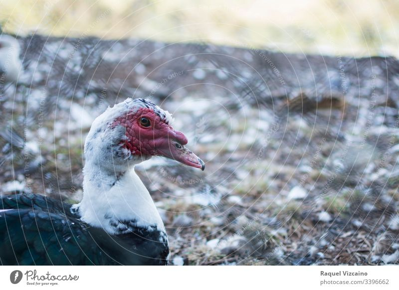 Head portrait of a muscovy black duck in the park, on the other side of the fence. animal bird nature goose beak water caged feathers farm wildlife head red