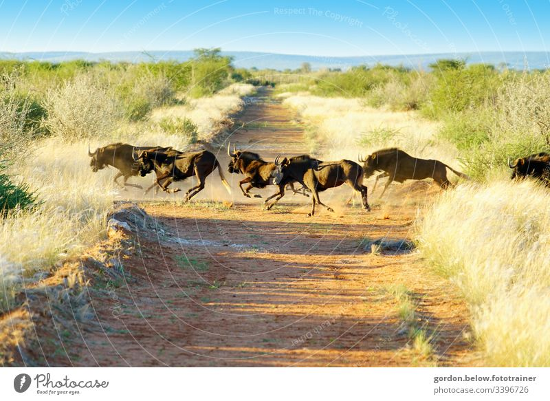 # Namibia Wild Herd daylight Summer Landscape format Light Shadow panoramic shot Colour A herd of wild buffalo in the middle of the picture sparse green