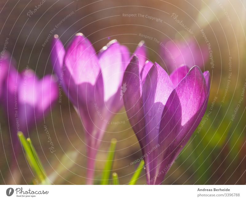 Purple crocus in the city Germany air background beautiful beauty bloom blooming blossom closeup color environment field flora floral flower foliage garden