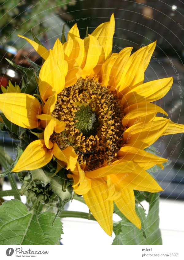 Nature Flower Summer Sunflower