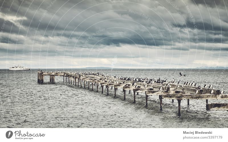 Penguins on an old wooden bridge Chile penguins colony Punta Arenas landscape sea Patagonia Strait of Magellan bird weather climate cloudy cloudscape cold windy