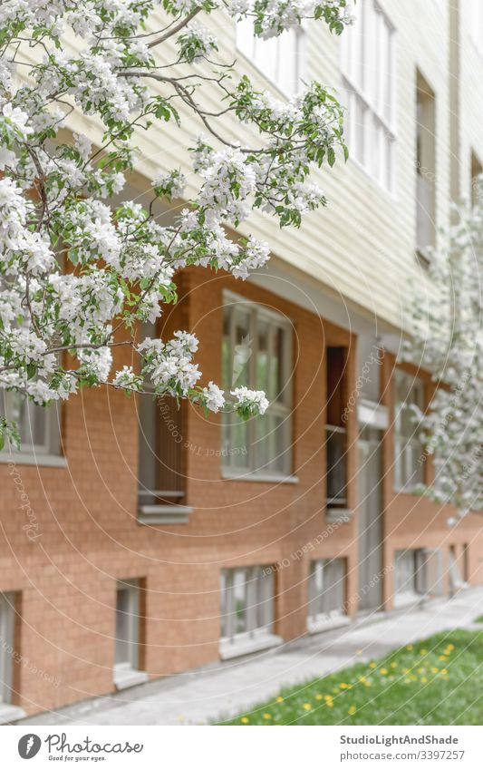 Facade of brick building and blooming trees house facade window windows wooden cherry tree blossom spring blossoming flowers flowering apple Canada Canadian