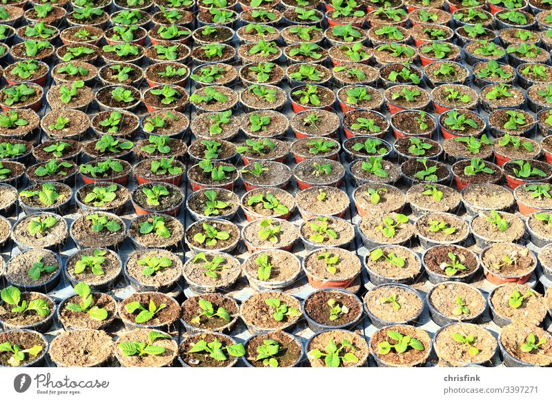 Plants in small pots Flower Sapling cuttings breeding Growth Greenhouse Agriculture Tree nursery Market garden Forestry Gardener food Environment Nature