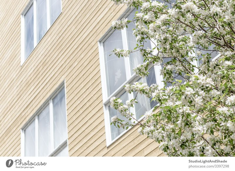 Blooming tree and windows of a modern building house facade trees blossom spring branch branches blossoming bloom blooming flowers flowering cherry tree
