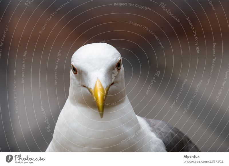 young attractive sceptical looking seagull in white plumage and yellow lips Seagull Bird White Beak Feather Animal Beautiful Yellow