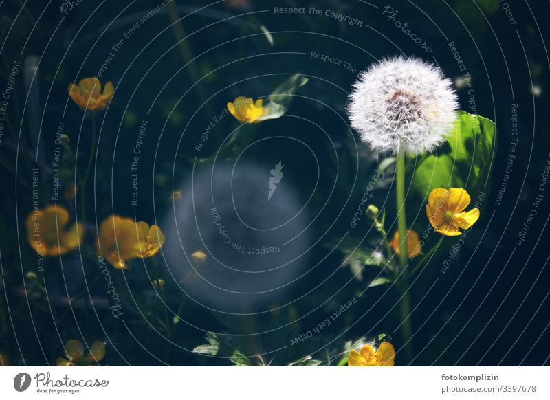 dandelion puffball Dandelion buttercup Dandelion field Spring seed stand meadow herbs Meadow flower summer flower Close-up dandelion seed puff flowers blow