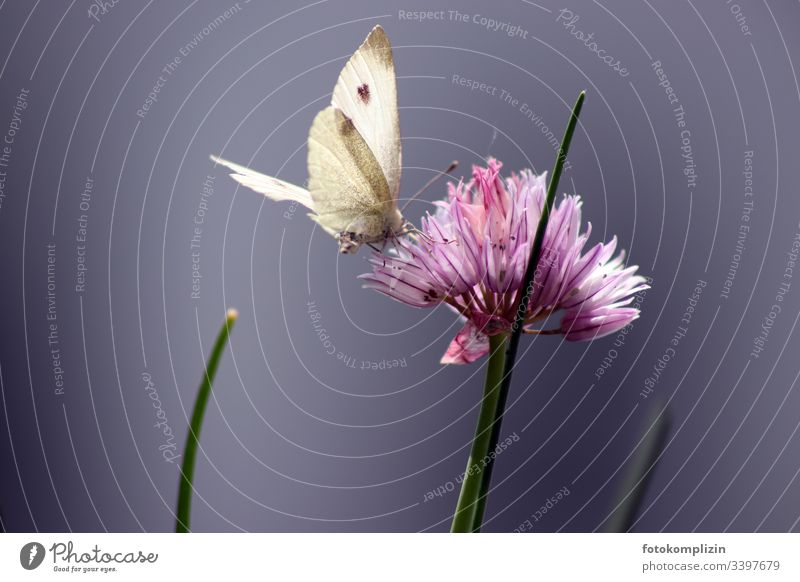 butterfly on chives blossom Butterfly Fabaceae Chives chive blossom Blossom Exterior shot Shallow depth of field Plant Garden Summer Spring herbs