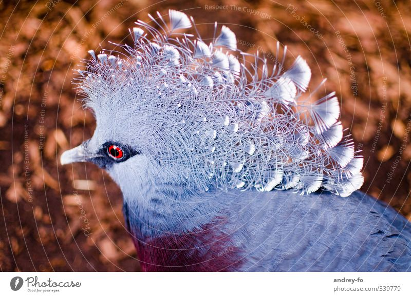 Exotic Dove Environment Nature Animal Wild animal Bird 1 Exceptional Elegant Fantastic Beautiful Blue Brown Love of animals Dream Uniqueness Feather Pigeon Chic