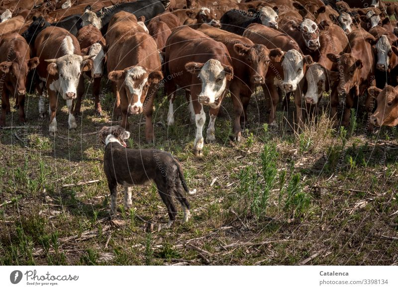 A dog stops cattle from escaping Pampa Farm animal Herd Animal Brown Green Exterior shot Deep depth of field Animal portrait looking cows Cattle farming