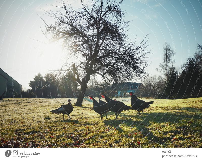 confrontation Turkey Turkeys Group of animals Meadow Grass Tree Sun Sunlight Back-light out Exterior shot excited Farm animals Cluck quarrel Conflict