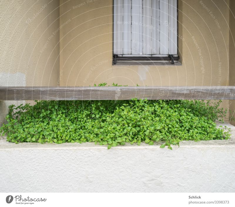 flower box with delicious chickweed (Stellaria) in front of window with closed shutters Window box Weed folding shutter Closed Green Beige White Uninhabited