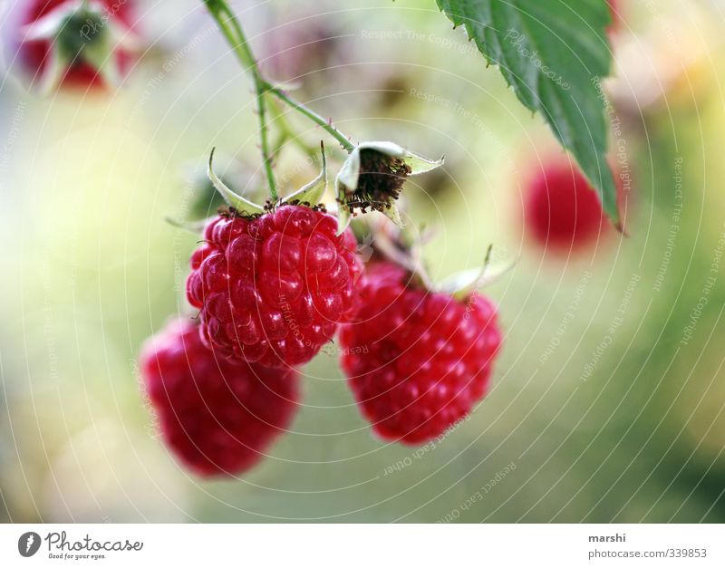 fruity sweet Food Fruit Nutrition Eating Nature Plant Sweet Bushes Garden Raspberry Delicious Tasty Blur Shallow depth of field Colour photo Exterior shot