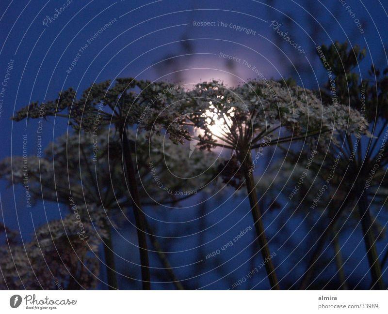 Flower Blue Calm Lamp Dark Dream Glittering Peace Mysterious Full  moon