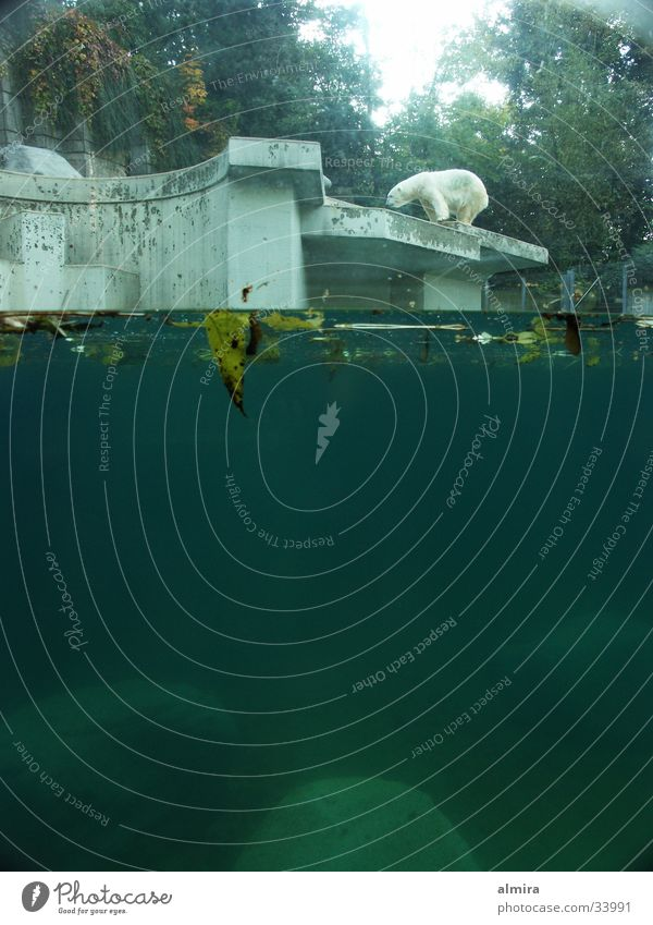 the old bear Polar Bear Zoo Gap Calm Expectation Loneliness Stagnating Audience Visitor Transport Water Perspective Wait Life