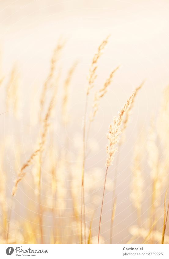 gold Environment Nature Plant Summer Beautiful weather Lake Warmth Yellow Gold Common Reed Grass Natural Golden yellow Colour photo Exterior shot Day Light