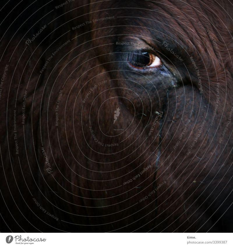 silent observer Cow see look Observe Skeptical Earnest sad Grief Dark Intensive Animal face animal portrait Eyes skin fold Pelt