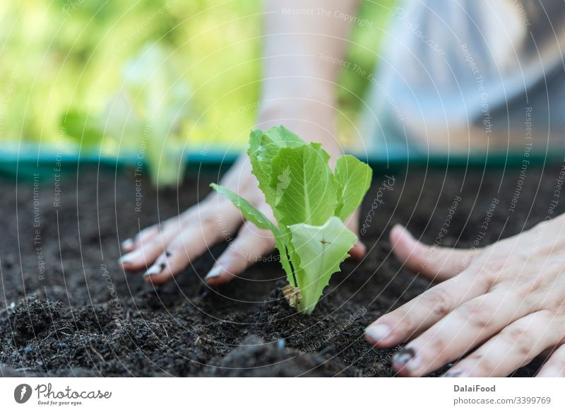 Woman planting lettuce in the home garden agriculture apartment background balcony cool background copy spaces cultivate cultivation environment farm farmer