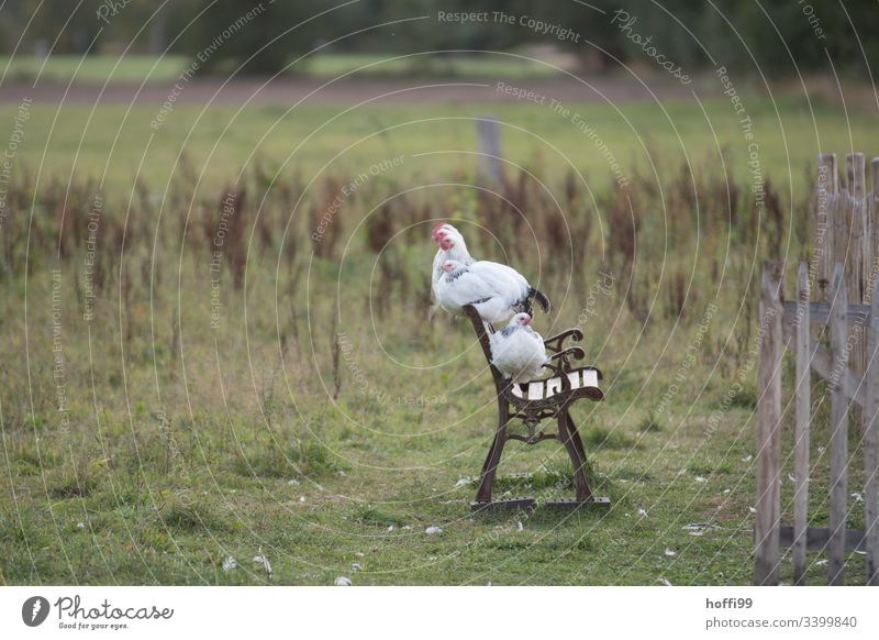 Sundheimer chickens on a bench Slender-billed Scrub Fowl Poultry hen Rooster Natural Ecological Agriculture sustainability Sustainability Species-appropriate