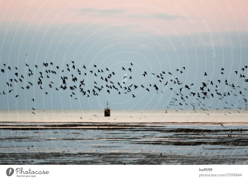 A flock of starlings in the morning over the Wadden Sea Starling Flock birds Low tide North Sea North Sea coast Mud flats watt Coast Landscape Water Beach
