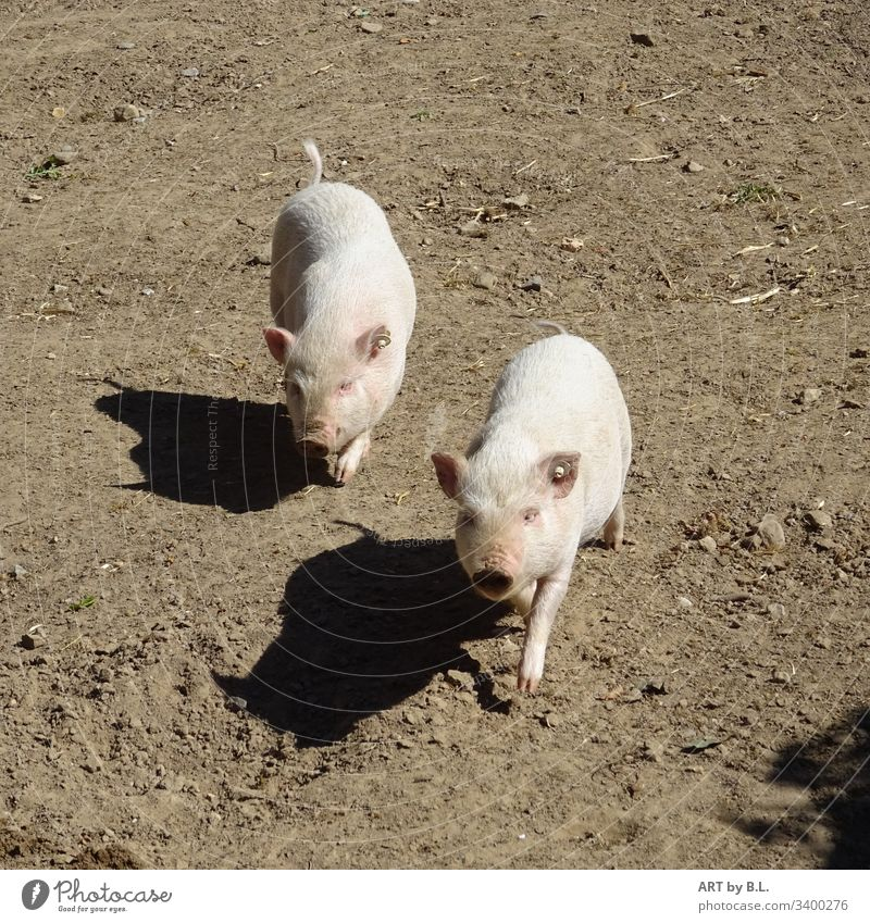 Two little pigs and their shadows curious pigs piggy Sow sows Piglet Farm animals little piggies Mammal inquisitorial joyfully klei Boy (child) cub
