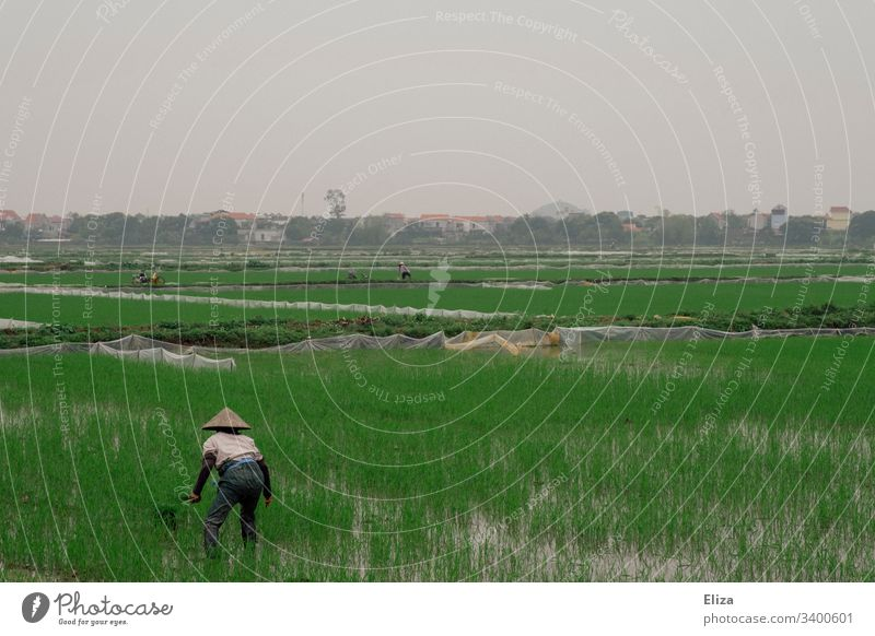 A Vietnamese rice farmer at work in a green rice field Paddy field Rice peasant Rice farmer Extend Field Green Landscape Nature Agriculture Exterior shot Food