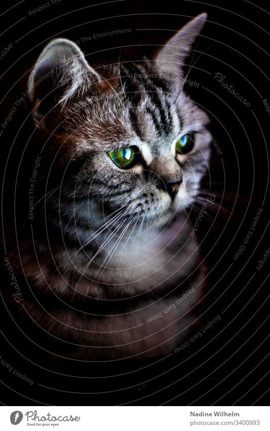 British Shorthair cat in the light Cat Animal Pet Colour photo Animal portrait Looking Cute Domestic cat Interior shot artificial light Beautiful