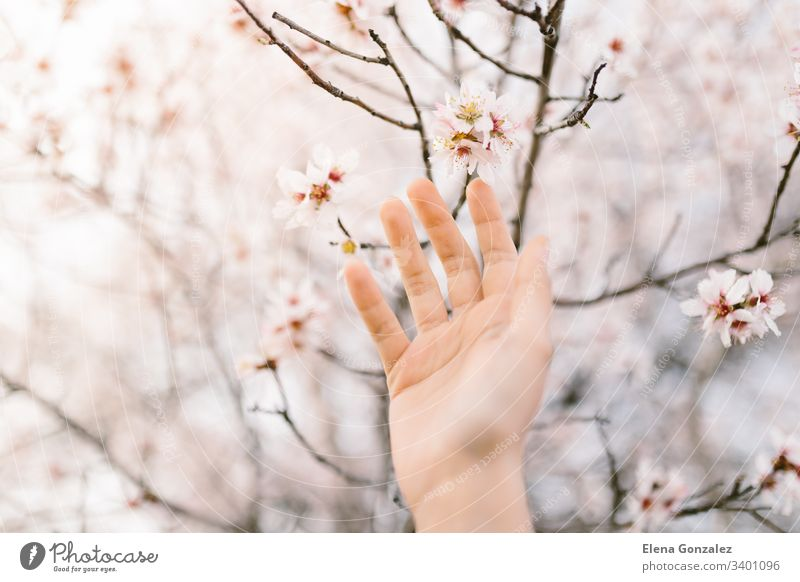 Woman hand touching almond blossoms tree. Cherry tree with tender flowers. Amazing beginning of spring. Selective focus. Flowers concept. fingers women female