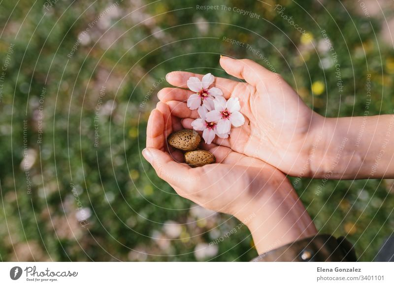 Top view of woman holding almond shells and almond flowers in her palms in the field. Amazing beginning of spring. Selective focus on her hands. almonds fingers