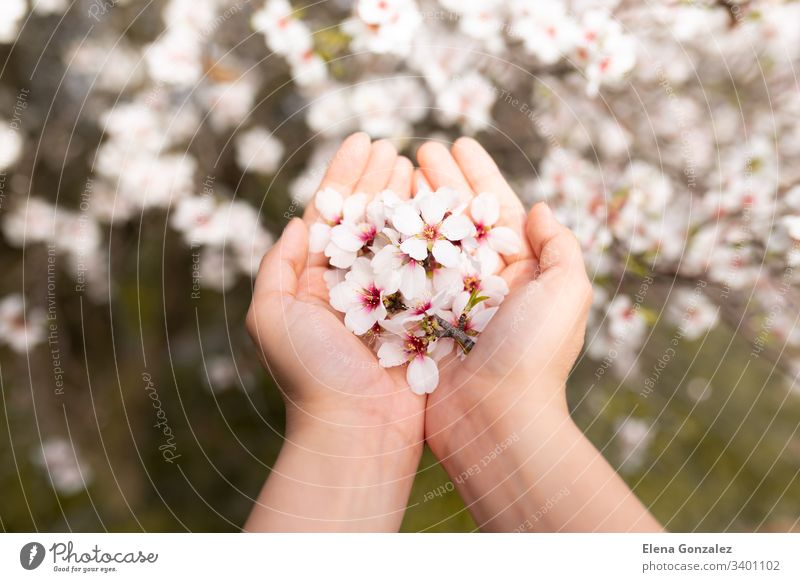 Woman hand touching almond blossoms tree flowers. Cherry tree with tender flowers. Amazing beginning of spring. Selective focus. Flowers concept. fingers women