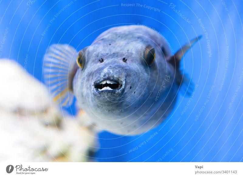 Fugu fish as nature underwater sea life fugu puffer blue dive marine ocean animal poisonous exotic macro blowfish tropical tetraodontidae toxic wild japan