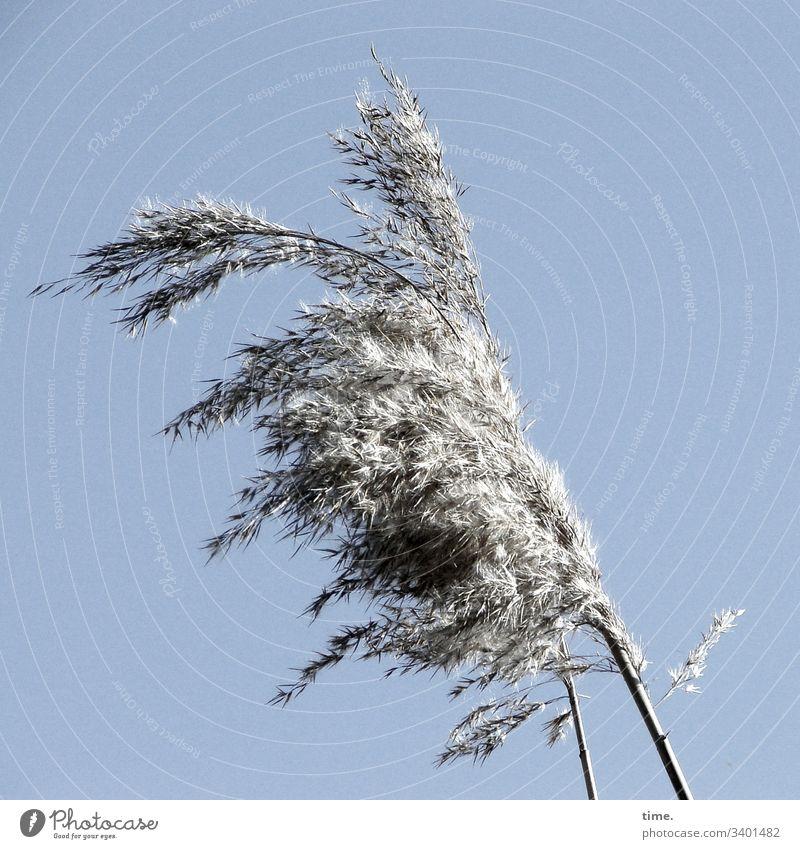 Windy Grass Coast Baltic Sea wax Fantasy Movement vivacious Nature flora Contrast Sky Sunlight Bright Cotton grass Gray Silver windy Blow