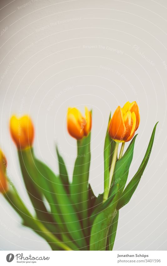 beautiful tulips in front of a light background as a gift for Mother's Day heyday flower decoration Tulip Beautiful Beauty & Beauty Blossom Bouquet Bright