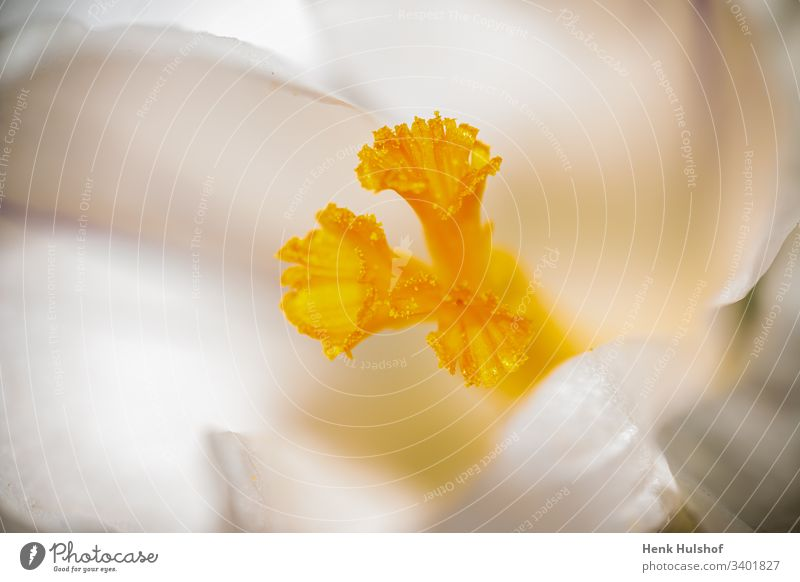 macro Image of a white crocus and yellow pestle in beautiful soft focus background beauty bloom blooming blooming crocus blossom botany close up closeup color