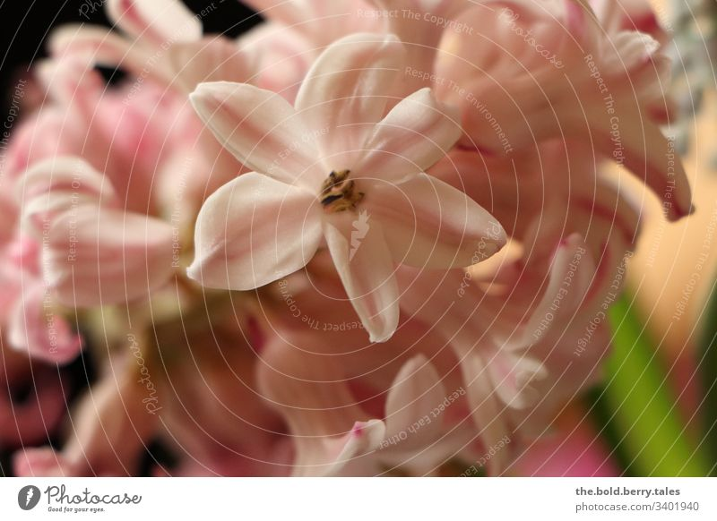 Hyacinth pink Beautiful weather Close-up Natural Nature Growth Hyacinthus Blossoming Joie de vivre (Vitality) Happiness Fresh Flower Friendliness Plant Spring