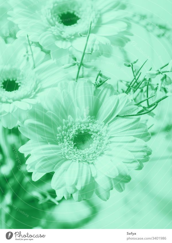 Bunch of beautiful flowers gerbera. Cold mint green tone pastel neo color nature summer spring turquoise design light green 2020 trend biscay aqua trendy