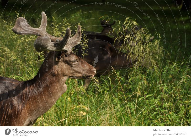 Young deer with small antlers stag Rutting season Autumn Deer Upper body Animal portrait Shadow Close-up youthful animal world Ruminant monitoring Mammal fauna