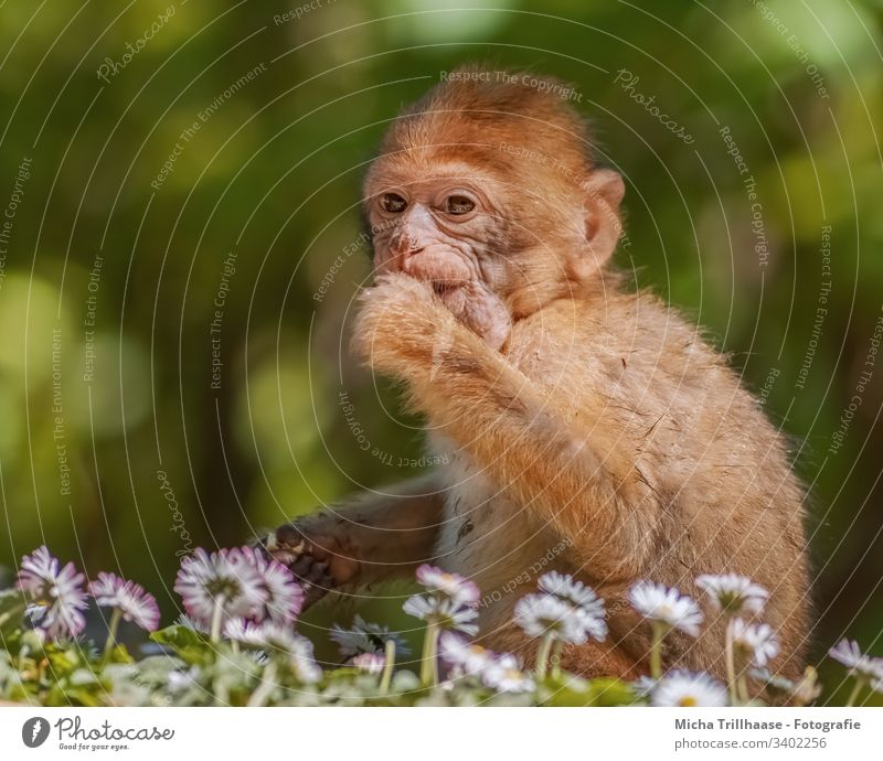 Little Barbary ape on the meadow Baby animal Young monkey Monkeys Animal face Pelt Paw Fingers Wild animal Curiosity Sit Discover Sunlight eyes ears Face Nose