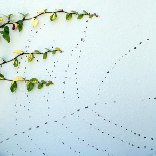 Traces of the ancestors vine plant Vine Wall (building) adhesive roots blotch points Organic green Growth Tracks Twig Outrigger