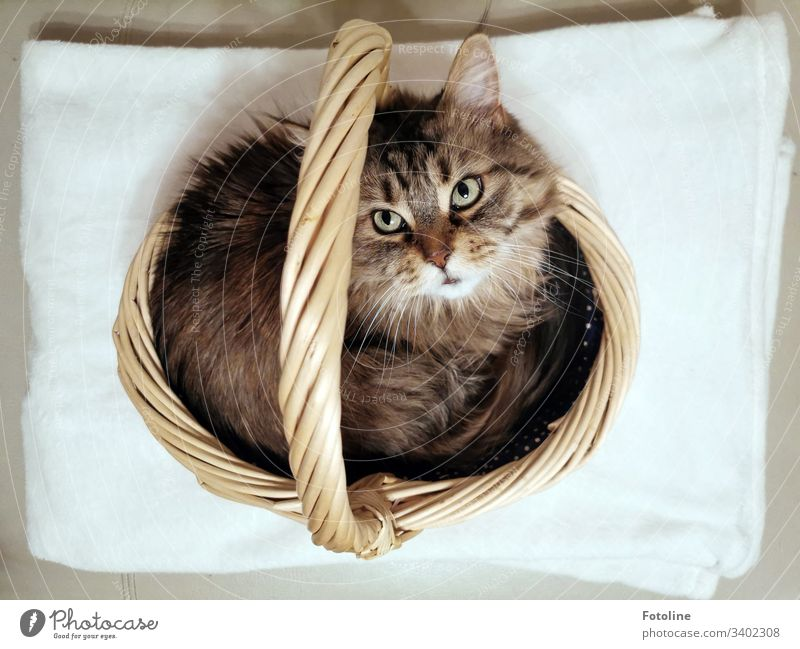 Today on special offer: Cat in shopping basket looks up into the camera MaineCoon Animal Pet Colour photo Interior shot Deserted Day Animal portrait Looking