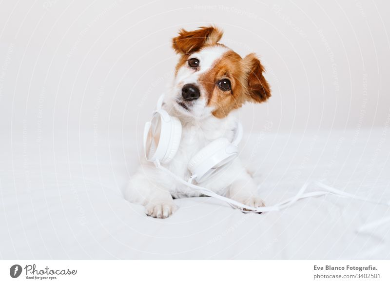 beautiful jack russell dog lying on bed listening to music on headset. home, indoors, music and lifestyle white cute pet small portrait house young studio