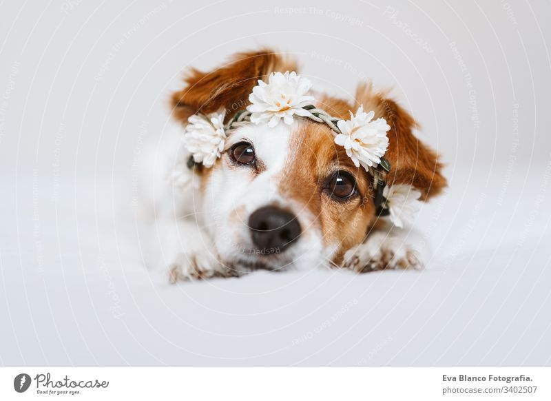 beautiful jack russell dog at home wearing a white wreath of flowers. Springtime and lifestyle concept spring springtime daytime portrait indoors cute pet small